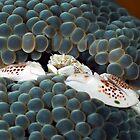 Porcelain Crab by Imaginarium