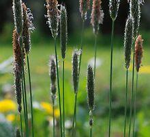 Summer Grasses by Rebecca Eldridge