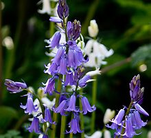 Bluebells & White Bells by freezaframe