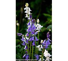 Bluebells & White Bells Photographic Print