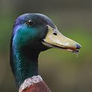 Mallard, A Portrait by WOBBLYMOL