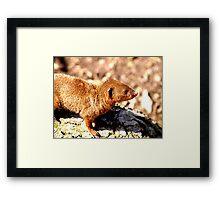 Dwarf Mongooes Framed Print