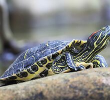 Turtle Stretching its Neck by Zunazet
