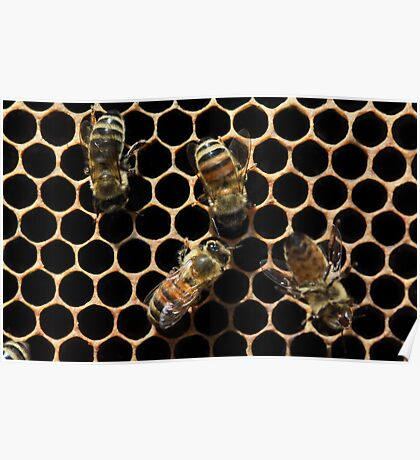 Honey Bees on Honeycomb Poster