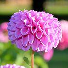 Pink Dahlia by Vicki73