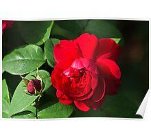 Walt's red rose 20110224 0213 Poster
