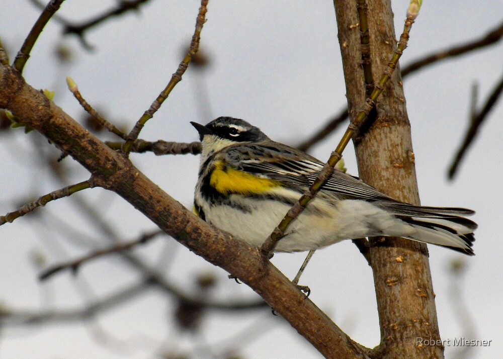 First Warbler of the Season (Yellow-rumped Warbler) by Robert Miesner
