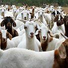 Goats - Yarck by Rachael Taylor