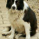 Ben the Border Collie #2 by Rachael Taylor