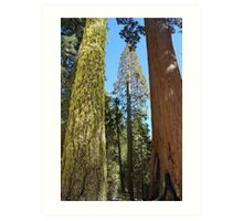 Giant trees in Kings Canyon Art Print
