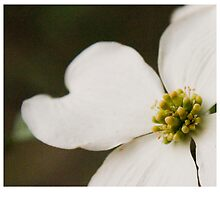 Dogwood Blossom Bract by 1illustlady