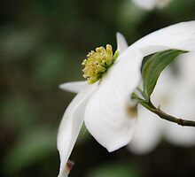 A Flowering Dogwood blossom by 1illustlady