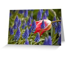 Candy Apple Tulip in a Bed of Grape Hyacinths Greeting Card