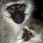 Primate - Black-faced Vervet Monkey, Kenya.  by Carole-Anne