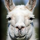 Llama by AngieBanta