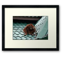 Lonely Looking Young Orangutan on a Tiled Roof Framed Print