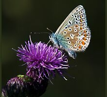 Common Blue Butterfly (Polommatus icarus) (IV) by DonMc