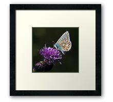 Common Blue Butterfly (Polommatus icarus) (IV) Framed Print