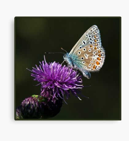 Common Blue Butterfly (Polommatus icarus) (IV) Canvas Print