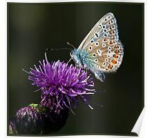 Common Blue Butterfly (Polommatus icarus) (IV) Poster