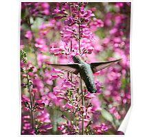 Hummingbird & Parry's Penstemon Poster