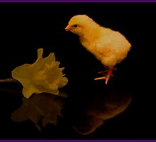 Reflected Easter Chick by J-images
