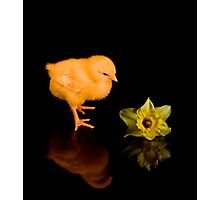 Easter Chick and Daffodil reflected Photographic Print