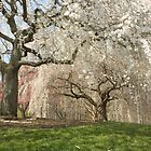 Cherry Blossom Perfection by Mary Campbell