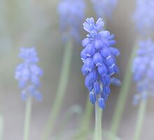 Muscari flower by Patrick Reinquin