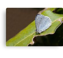 Holly Blue Butterfly Canvas Print