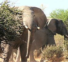 """Uneasy"" - African elephant (Loxodonta africana) Botswana by Sandy Beaton"