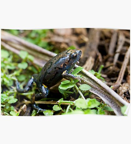 Dusky Toadlet, Uperoleia fusca ? Poster