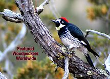 Acorn Woodpecker by Laurel Talabere