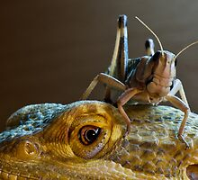 Safety - Bearded Dragon with Locust by darrendpc
