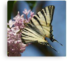 Sail Swallowtail Canvas Print