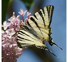 Sail Swallowtail Photographic Print