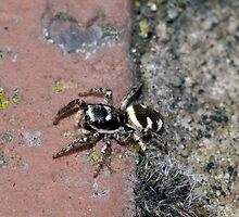 Zebra Spider (Salticus scenicus) by Chris Monks