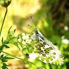 Orange Tip Butterfly by Holly Daniels