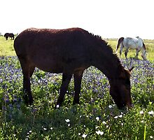 Mule In Field of Bluebonnets ~Texas by Penny Odom