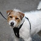 Harry's New Harness by Dorothy Thomson