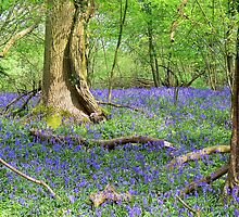 Secret Bluebell Wood by hootonles