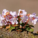 Blossom on a rock by Fran0723