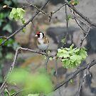 Goldfinch by Dorothy Thomson