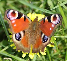 peacock butterfly 1 by anfa77