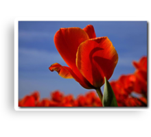 A tulip for a special friend Canvas Print