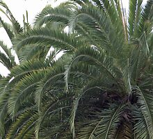 The Tops of Palm Trees by Sherry Hallemeier
