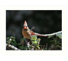 Female northern cardinal perched on a branch Art Print