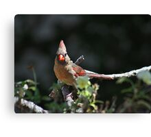 Female northern cardinal perched on a branch Canvas Print