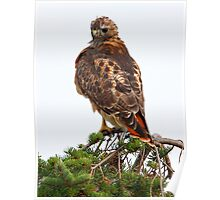 Red Tailed Poster