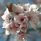 The First Cheery Blossums by Bellavista2